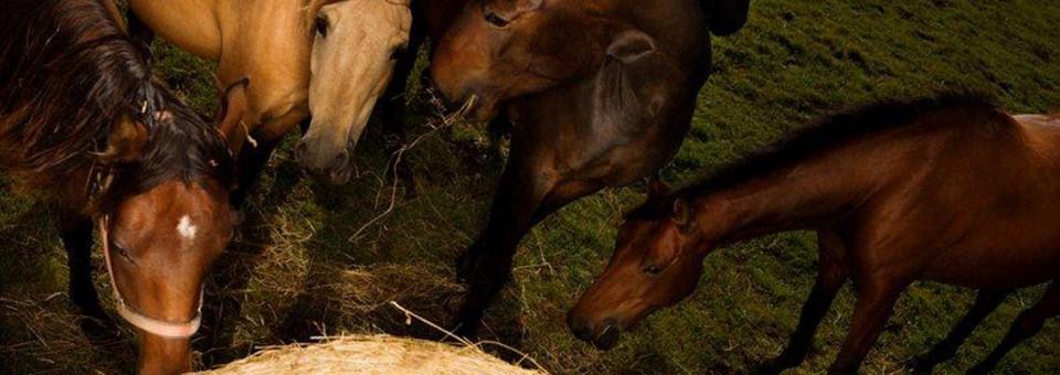 Horses are fantastic hindgut fermenters