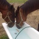Horses' fluid balance