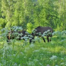 Vitamin E and A in forage for horses