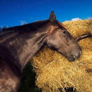 Higher masseter muscle activity and chewing frequency with forage