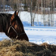 Late harvested forage takes longer time for horses to eat
